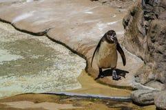 Der nass Pinguin einzeln Fotographie eingelassen einem Zoo stockfotografie