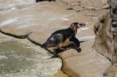 Der nass Pinguin einzeln Fotographie eingelassen einem Zoo stockbilder