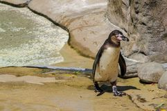 Der nass Pinguin einzeln Fotographie eingelassen einem Zoo lizenzfreie stockbilder