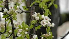 Der Nassschnee, der auf den Birnen-Baum fällt, blühen im Frühjahr stock footage