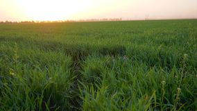 In der Natur spielen, nettes Kind, das im grünen Gras auf dem Gebiet auf Hintergrund der orange Nachglut sich versteckt stock footage