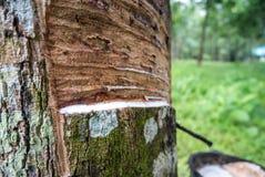 Der Naturlatex, der vom Gummibaum mit Gummi eingeschlossen wird, höhlt f lizenzfreies stockfoto