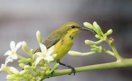 Der Nektar, der Olive isst, unterstützte sunbird in einem Garten Stockfotografie