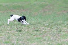 Der nette Hund läuft froh auf einem Gras stockfotos