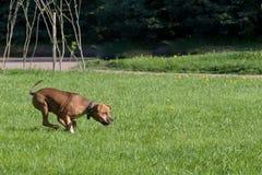 Der nette Hund läuft froh auf einem Gras lizenzfreie stockfotografie