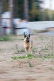 Der nette Hund läuft froh auf einem Gras stockfoto