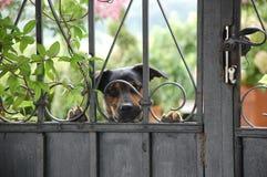 Der nette kleine Hund hinter altem Zaun Stockbild