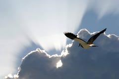 Der Nordkiebitz fliegt zum Süden Stockbild