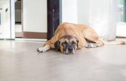 Der obdachlose Hund schläft an der Haustür Lizenzfreies Stockfoto