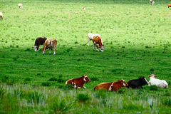 Der Ochse im grünen Rasen Stockfoto
