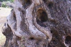 Der Olivenhain, der ursprüngliche Baumstamm, Bäume, alt Lizenzfreie Stockfotografie