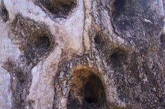 Der Olivenhain, der ursprüngliche Baumstamm, Bäume, alt Lizenzfreie Stockbilder