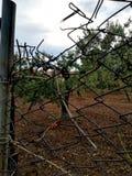 Der Olivenhain zwischen dem Maschendraht stockbilder