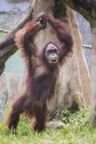 Der Orang-Utan, einer von den gro?en Affen geb?rtig nach Indonesien und Malaysia lizenzfreie stockfotos