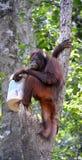 Der Orang-Utan mit einer Wanne auf einem Baum. Stockfotos