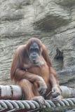 Der Orang-Utan sitzt das Denken auf einem Baum Stockfotos