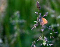 Der orange Schmetterling Stockbilder