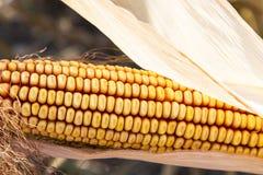 Der organische reife Maisabschluß oben Lizenzfreie Stockfotos