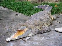 Der Orinoco-Kaiman Crocodylus intermedius Lizenzfreie Stockfotos