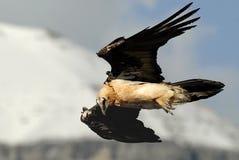 Der Osprey Lizenzfreie Stockbilder