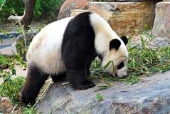 Der Panda Stockfotos