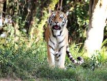 Der Pantheratigris-altaica Schauen Lizenzfreie Stockfotos