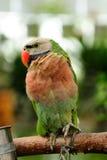 Der Papagei Lizenzfreies Stockfoto