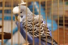 Der Papagei ist in einem Käfig Lizenzfreies Stockfoto