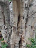 Der Peepal-Baum lizenzfreies stockfoto