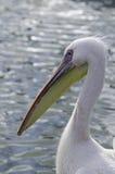 Der Pelikan Lizenzfreies Stockbild