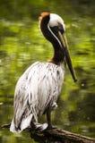 Der Pelikan Stockbild