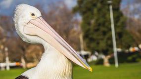Der Pelikan Lizenzfreie Stockfotografie