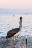 Der Pelikan auf dem Holzfußboden stockfotos