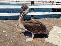 Der Pelikan auf dem Pier lizenzfreie stockfotos