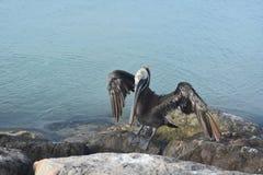Der Pelikan, der auf einem Felsen mit seinen Flügeln steht, verlängerte Lizenzfreies Stockbild