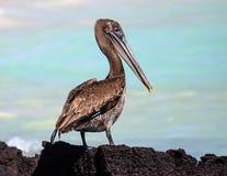 Der Pelikan Galapagos Brown Lizenzfreie Stockfotos
