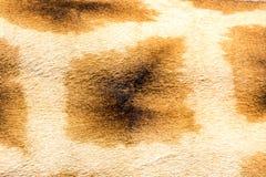 Der Pelz einer Giraffe in der Nahaufnahme lizenzfreies stockfoto