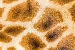 Der Pelz einer Giraffe in der Nahaufnahme lizenzfreies stockbild