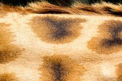 Der Pelz einer Giraffe in der Nahaufnahme stockfotos