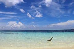 Der perfekte Strand in den Malediven mit einem Pelikan Lizenzfreie Stockfotografie