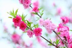 Frühlingspfirsichblumen Lizenzfreie Stockfotografie