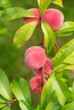 Der Pfirsich, Prunus persica, Stockfotografie