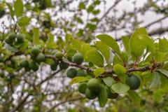 Der Pflaumenbaum im Bauernhof lizenzfreie stockbilder