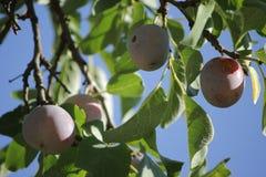 Der Pflaumenbaum (Prunus domestica) mit Früchten Stockbild