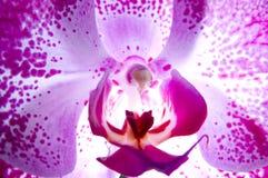 Der Phalaenopsis Stockfoto