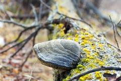der Pilz auf dem Baum Lizenzfreie Stockfotografie