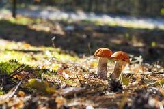 Der Pilz mit zwei Leccinum wächst lizenzfreies stockfoto