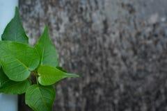 Der pipal Baum lizenzfreie stockfotografie