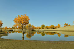 Der Populus euphratica Wald nahe dem Fluss Lizenzfreies Stockfoto