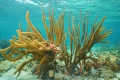 Der porösen weiches korallenrotes karibisches Meer Seestange Gorgonian Stockfoto